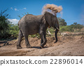 Elephant throwing dust over head on hillside 22896014