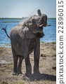 Elephant throwing dust over shoulder beside river 22896015