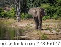 Elephant walking along wooded shoreline in sun 22896027