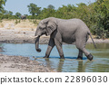 Elephant walking from water hole in profile 22896030