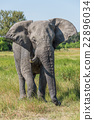 Elephant with missing tusk in grassy meadow 22896034
