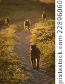 Four chacma baboons walking down sandy track 22896060