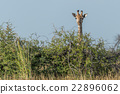 Giraffe peeping over bush under blue sky 22896062