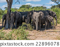 Herd of elephants in shade of tree 22896078