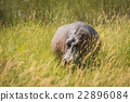 Hippopotamus standing in long grass facing camera 22896084
