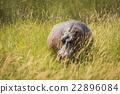 Hippopotamus standing in long grass facing camera 22896084