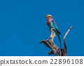 Lilac-breasted roller staring out from dead branch 22896108