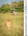 Lion lying in grass with jeep behind 22896121