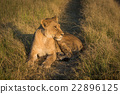 Lion lying on grassy track at sunset 22896125