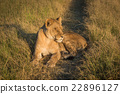 Lion lying with eyes closed at sunset 22896127