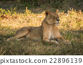 Lioness lies staring on grass in shade 22896139
