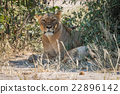 Lioness lying in shady bushes with cub 22896142