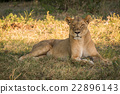Lioness lying in shady grass facing camera 22896143