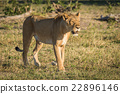 Lioness stands staring on savannah at dusk 22896146