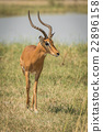 Male impala beside river walking towards camera 22896158