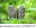 Scops owl brothers 22896547