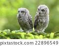 Baby scops owls 22896549