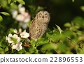 Young scops owl 22896553