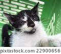 Cute kittens in green basket 22900656