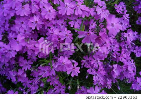 紫色的花朵 22903363