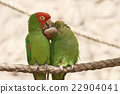 Kissing parrots on a rope 22904041