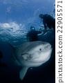 鱼 翻车鱼 蓝色的海洋 22905571