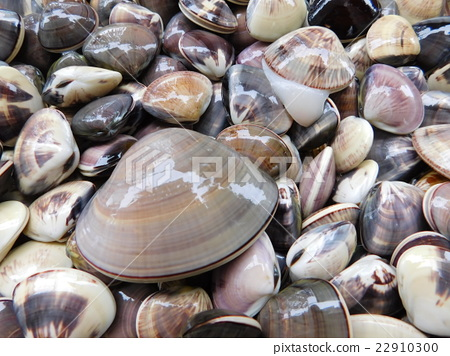 clam 22910300