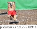 動物 奔跑 狗 22910914