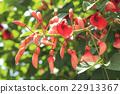 cockspur, coral, tree 22913367