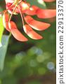 cockspur, coral, tree 22913370