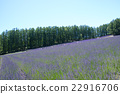 lavander, lavender, bloom 22916706
