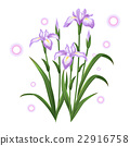 white violet iris ayame flower illustration vector 22916758