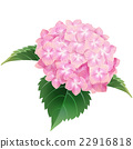 pink hydrangea,ajisai,flower, floral, blossom, ill 22916818
