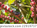 Australian blue spotted butterfly 22919737