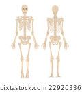 人體骨骼圖 22926336