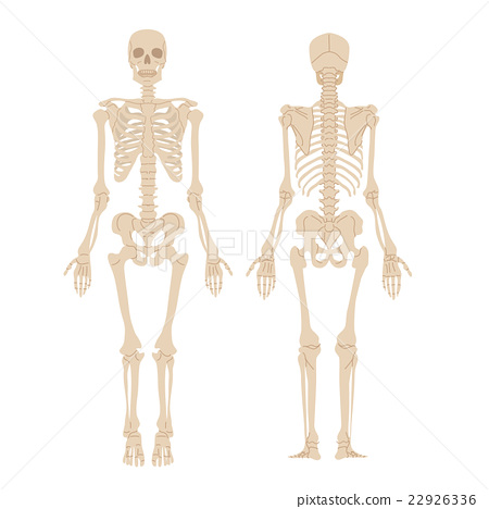 人体骨骼图 22926336