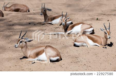 Few Gazelles sitting on sand in wildness 22927580