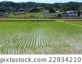 初夏 水稻 稻田 22934210
