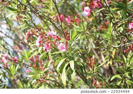 nerium oleander evergreen shrub mid height evergreen stock photo