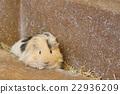 荷蘭豬 動物 小動物 22936209
