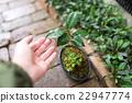 植樹 日本山茶 山茶花 22947774
