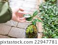 植樹 日本山茶 山茶花 22947781