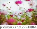 天空 大波斯菊 花朵 22948066