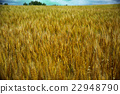 wheat, wheat field, wheatfield 22948790
