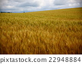 autumn, autumnal, wheat field 22948884