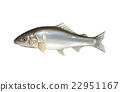 ayu, freshwater fish, fish 22951167