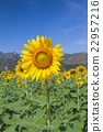 Sunflower with blue sky background 22957216