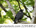 Raven standing in lush green trees looking 22958852