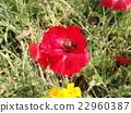 佛蘭德斯紅罌粟 開花 花卉 22960387