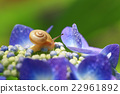 蝸牛 繡球花 人工耳蝸 22961892